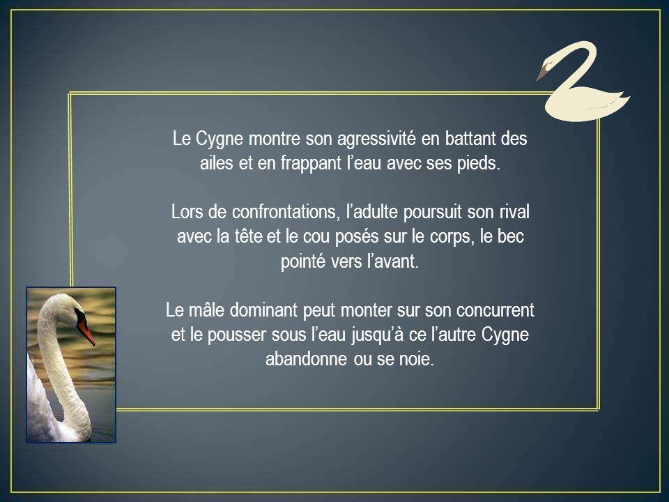 Le Cygne montre son agressivité en battant des ailes et en frappant leau avec ses pieds.