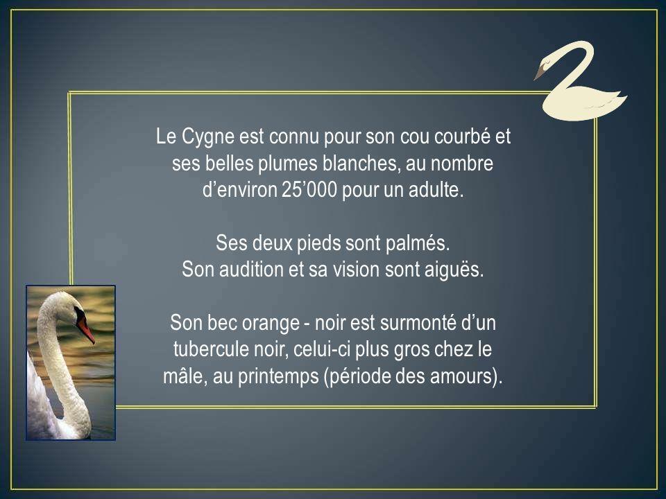 Le Cygne est connu pour son cou courbé et ses belles plumes blanches, au nombre denviron 25000 pour un adulte.