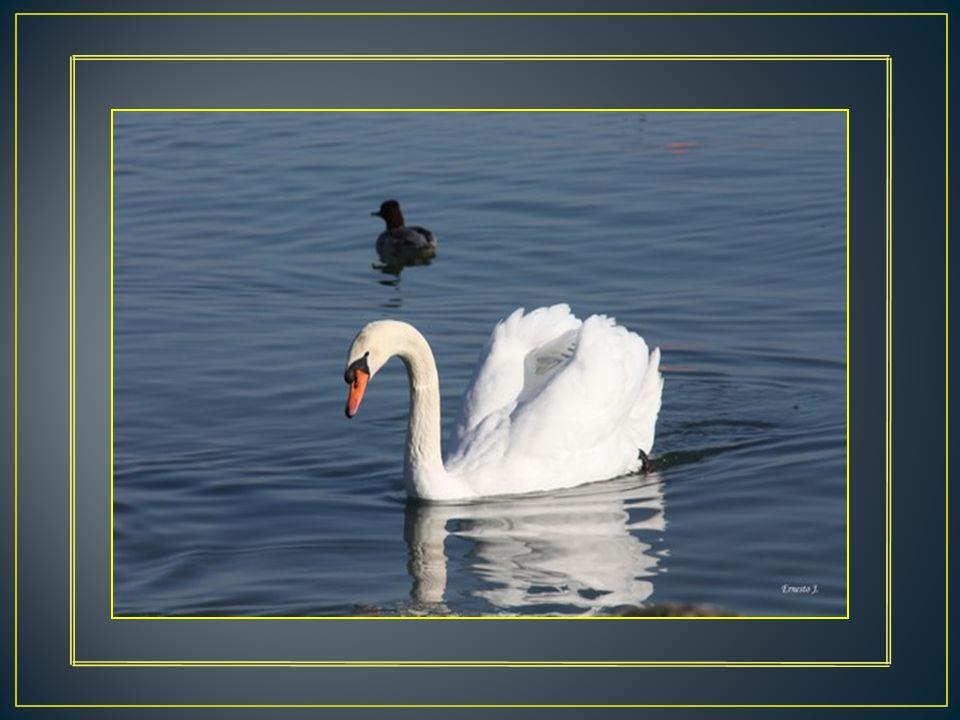 Le Cygne tuberculé est une espèce migratoire partielle. Dans la mythologie grecque, il est dédié à Apollon. Sa grâce fait de lui un oiseau très attach