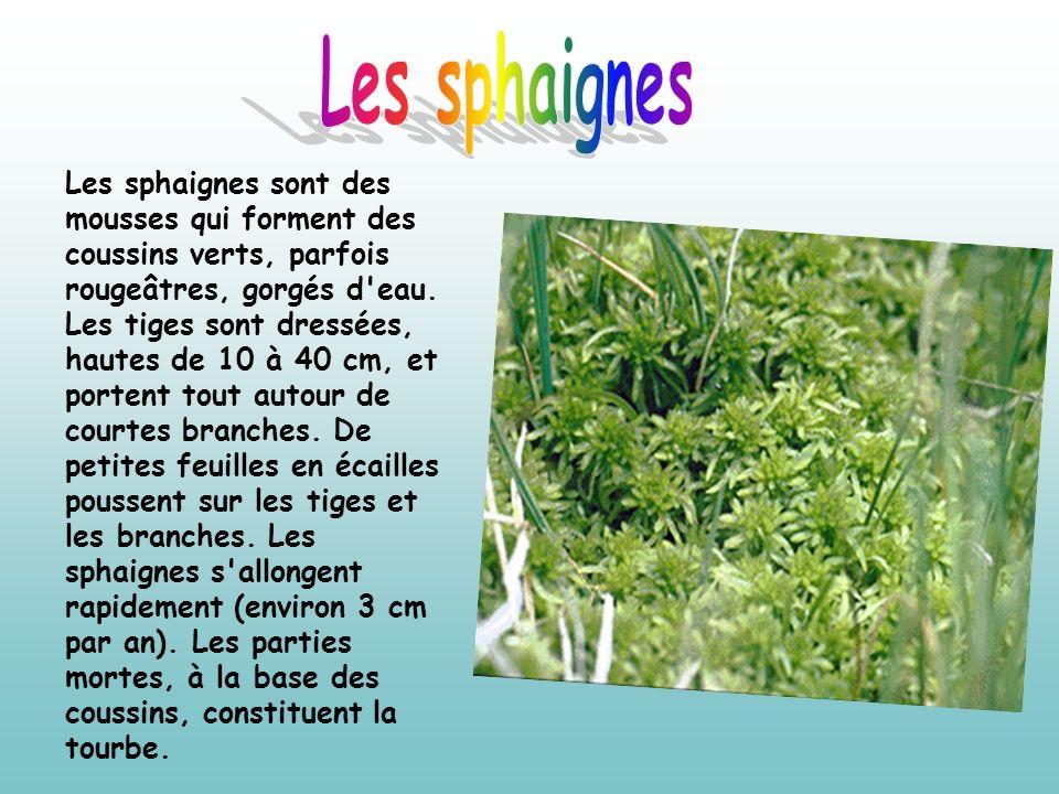 Les sphaignes sont des mousses qui forment des coussins verts, parfois rougeâtres, gorgés d'eau. Les tiges sont dressées, hautes de 10 à 40 cm, et por