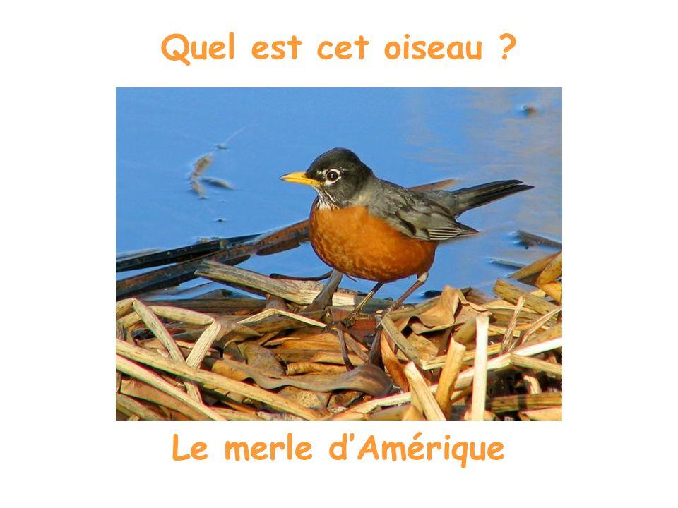 Quel est cet oiseau ? Le jaseur dAmérique