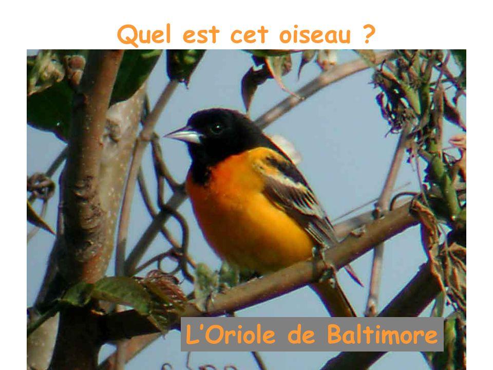 Quel est cet oiseau ? LOriole de Baltimore