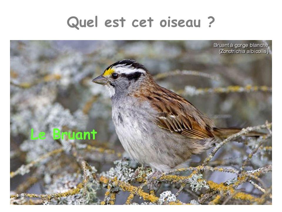 Quel est cet oiseau ? Le Bruant