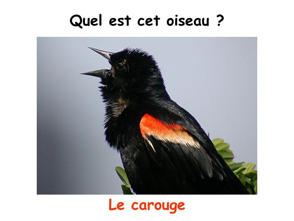 Quel est cet oiseau ? Le carouge