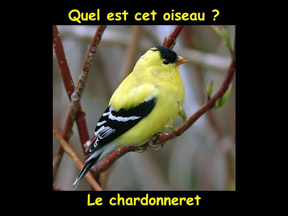 Quel est cet oiseau ? Le chardonneret