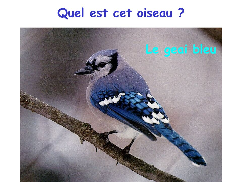 Quel est cet oiseau ? Le geai bleu