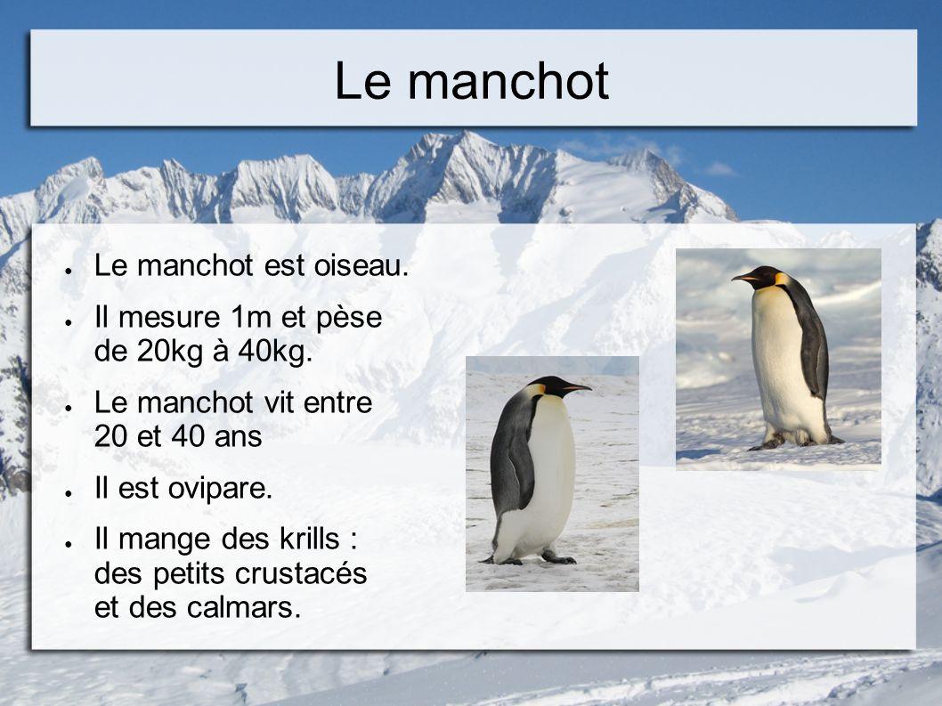 Le manchot Le manchot est oiseau. Il mesure 1m et pèse de 20kg à 40kg. Le manchot vit entre 20 et 40 ans Il est ovipare. Il mange des krills : des pet