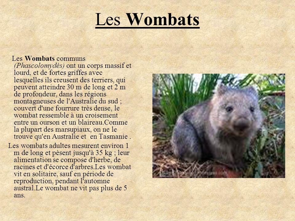 Les Wombats Les Wombats communs (Phascolomydés) ont un corps massif et lourd, et de fortes griffes avec lesquelles ils creusent des terriers, qui peuv