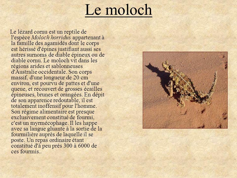Le moloch Le lézard cornu est un reptile de l'espèce Moloch horridus appartenant à la famille des agamidés dont le corps est hérissé d'épines justifia