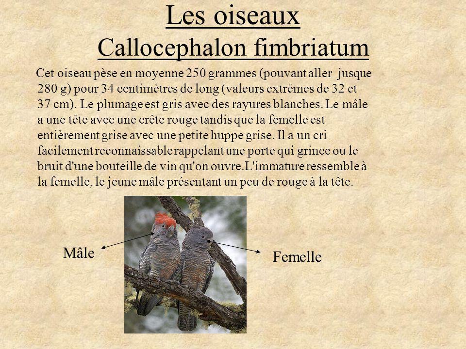 Les oiseaux Callocephalon fimbriatum Cet oiseau pèse en moyenne 250 grammes (pouvant aller jusque 280 g) pour 34 centimètres de long (valeurs extrêmes