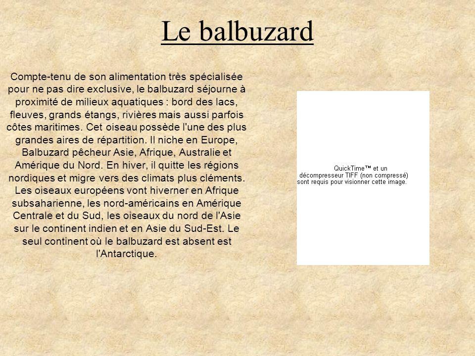 Le balbuzard Compte-tenu de son alimentation très spécialisée pour ne pas dire exclusive, le balbuzard séjourne à proximité de milieux aquatiques : bo