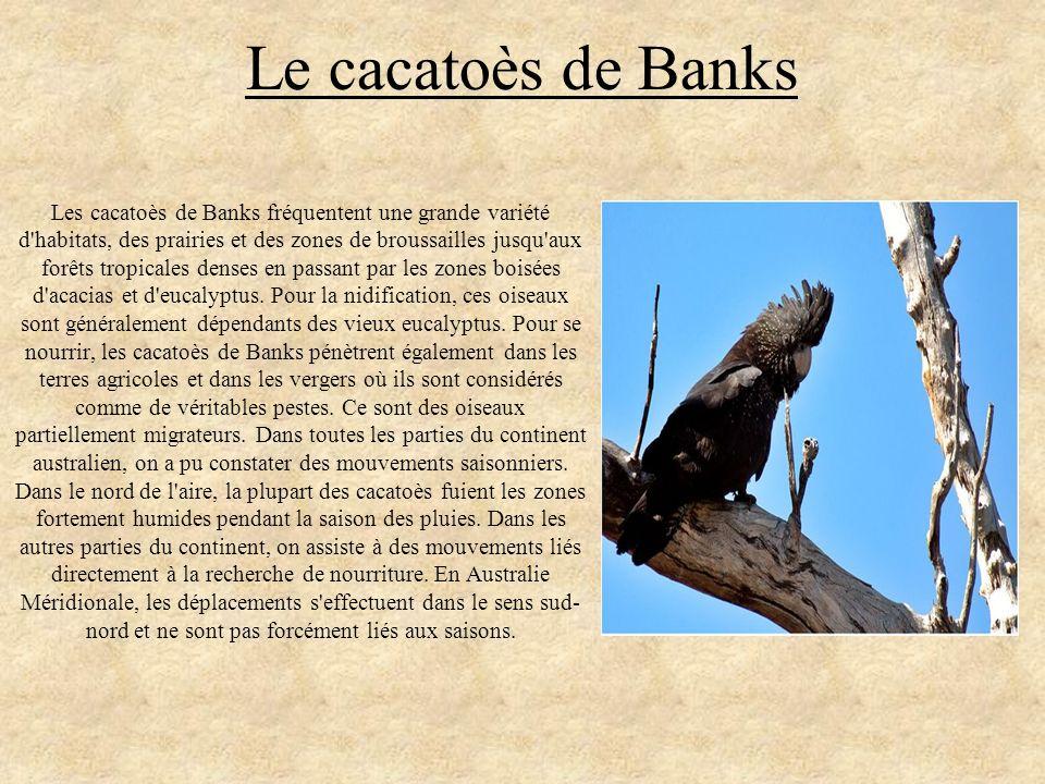 Le cacatoès de Banks Les cacatoès de Banks fréquentent une grande variété d'habitats, des prairies et des zones de broussailles jusqu'aux forêts tropi
