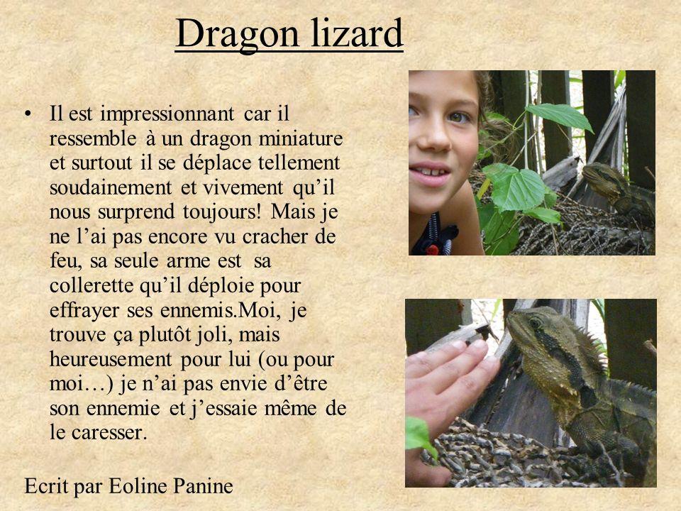 Dragon lizard Il est impressionnant car il ressemble à un dragon miniature et surtout il se déplace tellement soudainement et vivement quil nous surpr