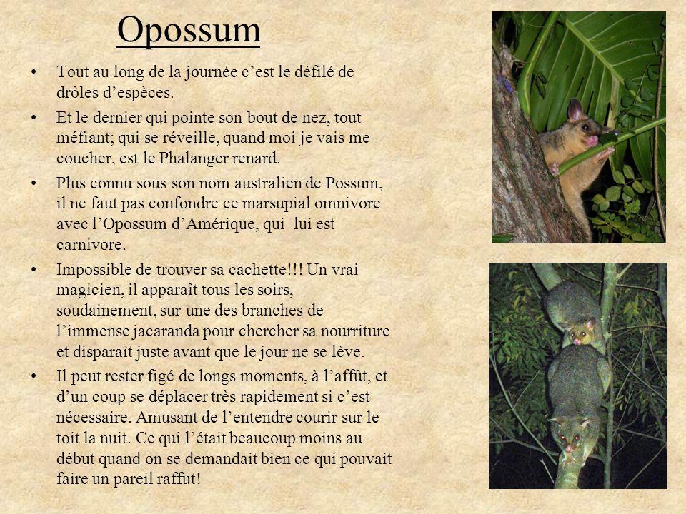 Opossum Tout au long de la journée cest le défilé de drôles despèces. Et le dernier qui pointe son bout de nez, tout méfiant; qui se réveille, quand m