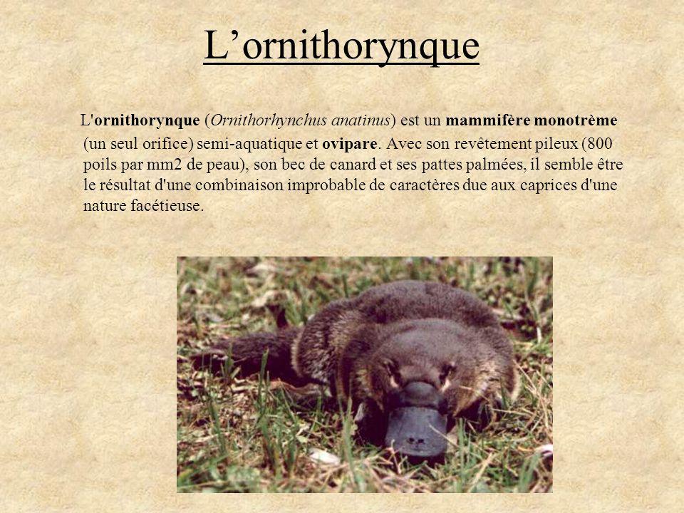 Lornithorynque L'ornithorynque (Ornithorhynchus anatinus) est un mammifère monotrème (un seul orifice) semi-aquatique et ovipare. Avec son revêtement
