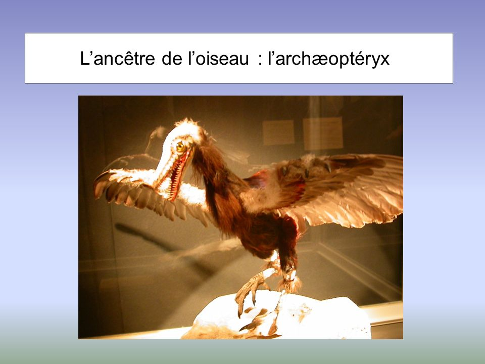Lancêtre de loiseau : larchæoptéryx