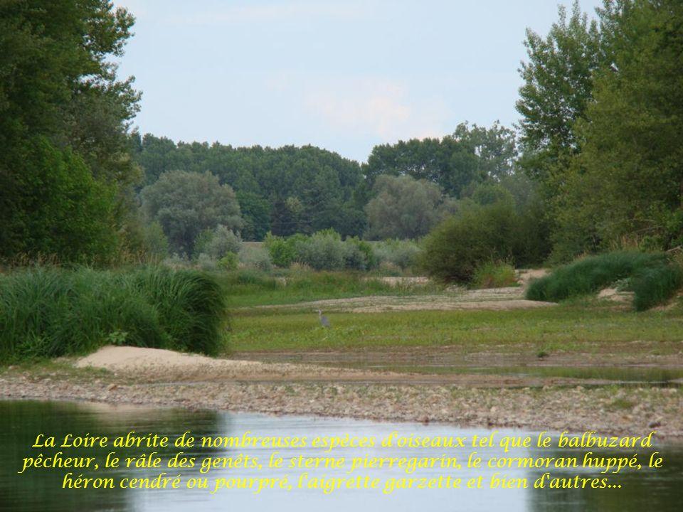 Le niveau de la Loire est si bas, que des bras sont asséchés
