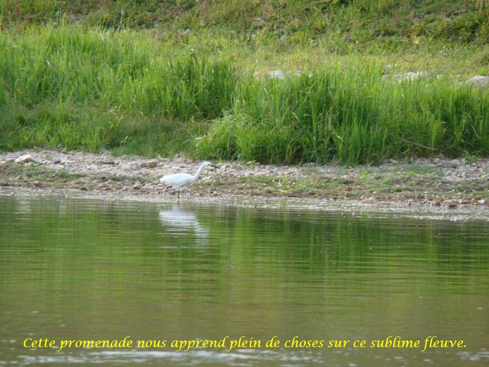 La Loire est propice au développement du balbuzard, rapace de la famille des aigles qui est uniquement consommateur de poisson