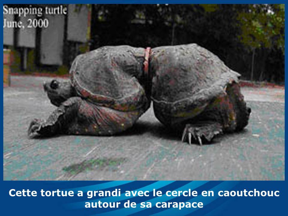 Cette tortue a grandi avec le cercle en caoutchouc autour de sa carapace