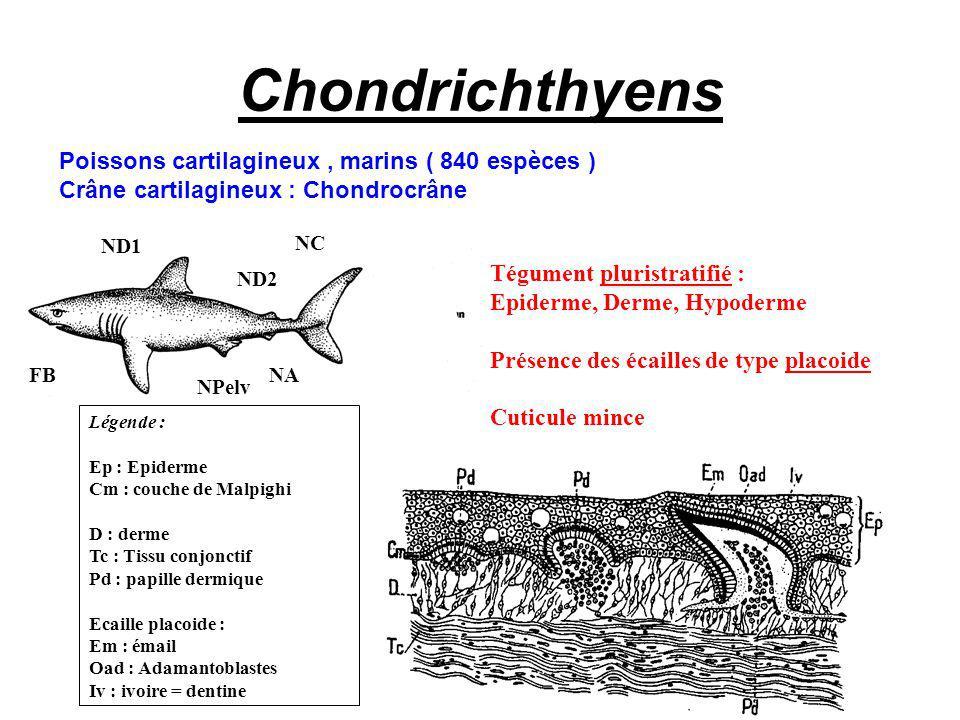 Chondrichthyens Poissons cartilagineux, marins ( 840 espèces ) Crâne cartilagineux : Chondrocrâne FB ND1 NPelv NC NA ND2 Tégument pluristratifié : Epiderme, Derme, Hypoderme Présence des écailles de type placoide Cuticule mince Légende : Ep : Epiderme Cm : couche de Malpighi D : derme Tc : Tissu conjonctif Pd : papille dermique Ecaille placoide : Em : émail Oad : Adamantoblastes Iv : ivoire = dentine