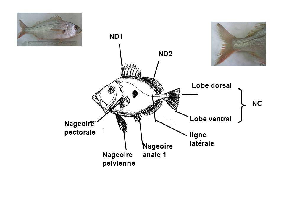 ND1 ND2 NC Lobe dorsal Lobe ventral Nageoire pelvienne Nageoire pectorale Nageoire anale 1 ligne latérale