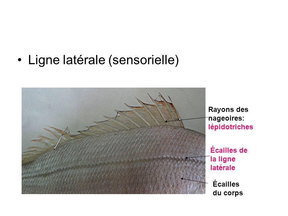 Ligne latérale (sensorielle) Écailles du corps Écailles de la ligne latérale Rayons des nageoires: lépidotriches