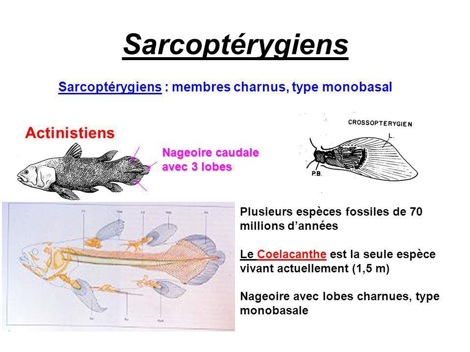 Sarcoptérygiens : membres charnus, type monobasal Actinistiens Plusieurs espèces fossiles de 70 millions dannées Le Coelacanthe est la seule espèce vi