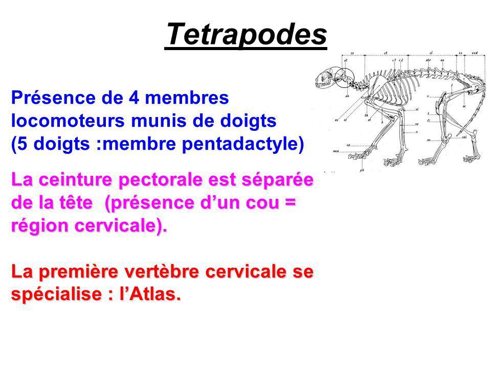 Tetrapodes Présence de 4 membres locomoteurs munis de doigts (5 doigts :membre pentadactyle) La ceinture pectorale est séparée de la tête (présence dun cou = région cervicale).