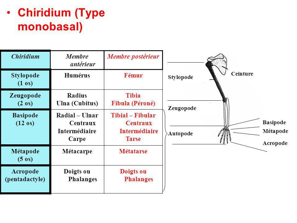 Chiridium (Type monobasal) Stylopode Zeugopode Autopode Basipode Métapode Acropode Ceinture ChiridiumMembre antérieur Membre postérieur Stylopode (1 os) HumérusFémur Zeugopode (2 os) Radius Ulna (Cubitus) Tibia Fibula (Péroné) Basipode (12 os) Radial – Ulnar Centraux Intermédiaire Carpe Tibial – Fibular Centraux Intermédiaire Tarse Métapode (5 os) MétacarpeMétatarse Acropode (pentadactyle) Doigts ou Phalanges