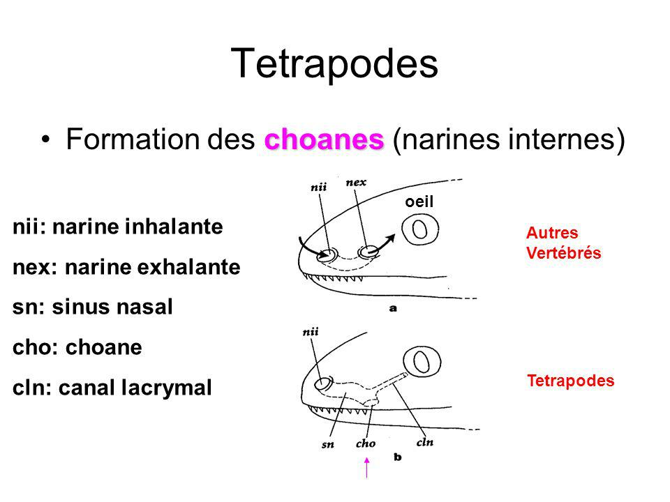 Tetrapodes choanesFormation des choanes (narines internes) Autres Vertébrés Tetrapodes oeil nii: narine inhalante nex: narine exhalante sn: sinus nasa