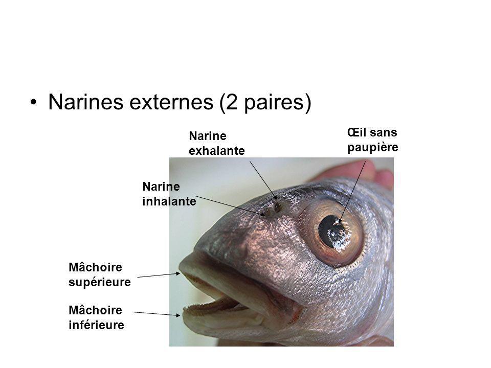 Narines externes (2 paires) Narine exhalante Narine inhalante Mâchoire supérieure Mâchoire inférieure Œil sans paupière