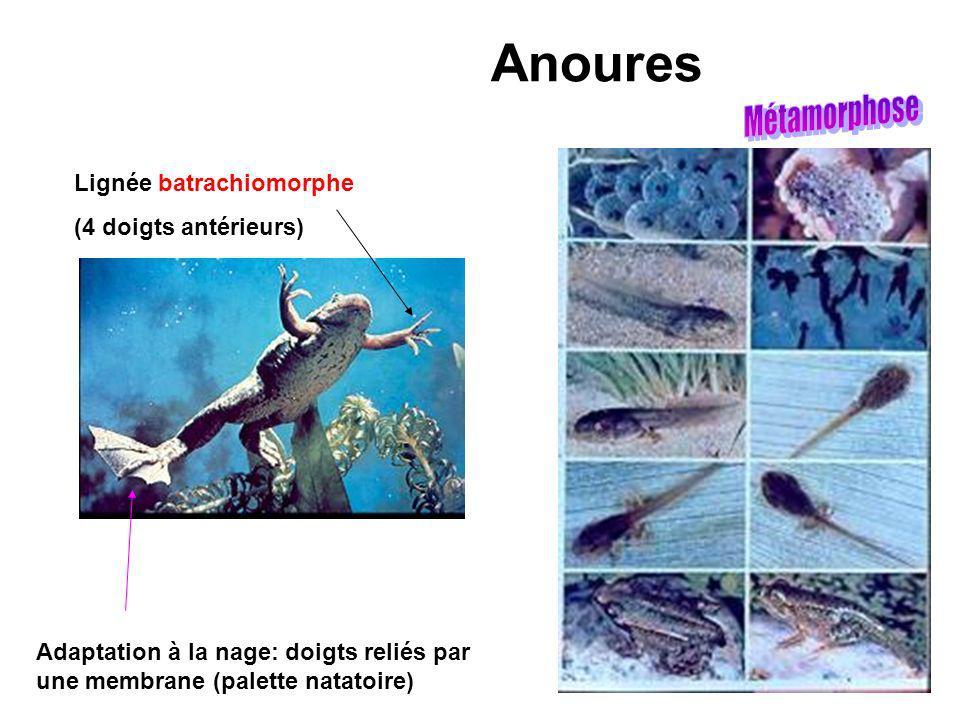 Anoures Adaptation à la nage: doigts reliés par une membrane (palette natatoire) Lignée batrachiomorphe (4 doigts antérieurs)