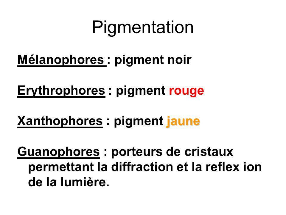 Pigmentation Mélanophores : pigment noir Erythrophores : pigment rouge jaune Xanthophores : pigment jaune Guanophores : porteurs de cristaux permettant la diffraction et la reflex ion de la lumière.