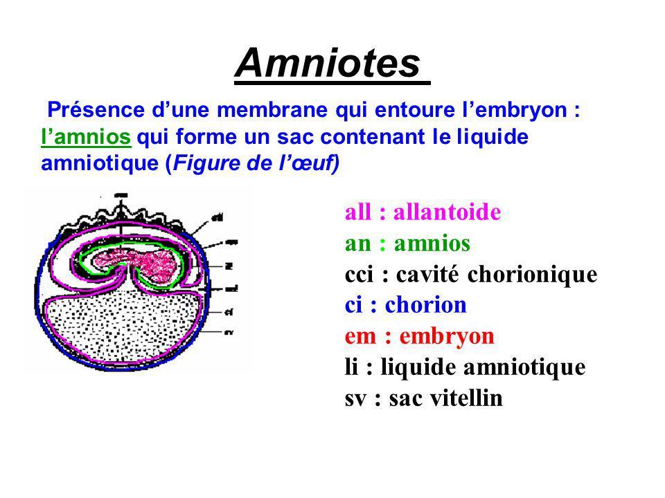 Amniotes Présence dune membrane qui entoure lembryon : lamnios qui forme un sac contenant le liquide amniotique (Figure de lœuf) all : allantoide an : amnios cci : cavité chorionique ci : chorion em : embryon li : liquide amniotique sv : sac vitellin