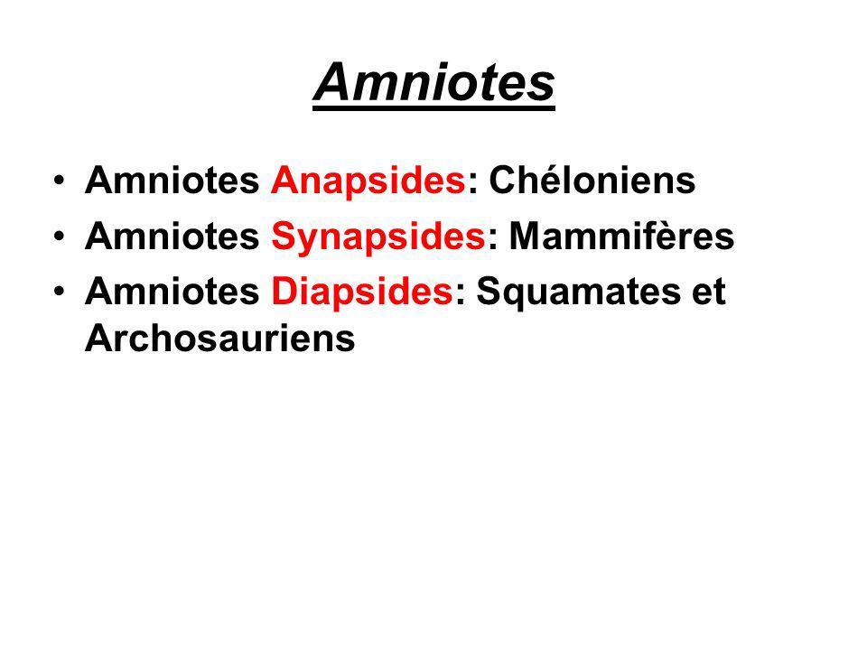 Amniotes Amniotes Anapsides: Chéloniens Amniotes Synapsides: Mammifères Amniotes Diapsides: Squamates et Archosauriens