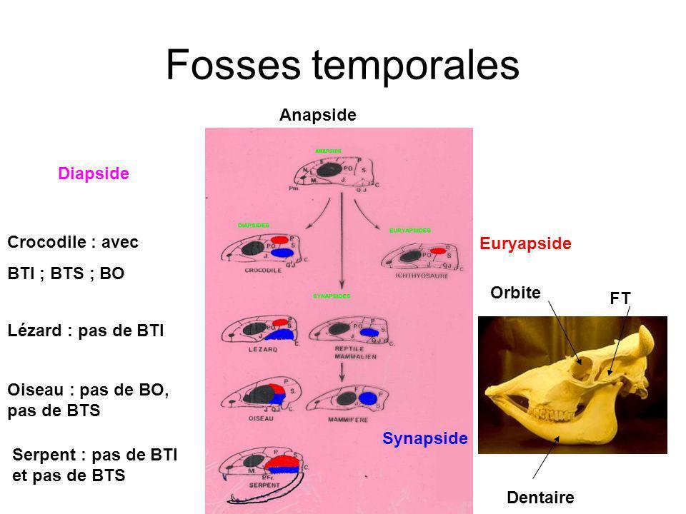 Fosses temporales Anapside Crocodile : avec BTI ; BTS ; BO Oiseau : pas de BO, pas de BTS Lézard : pas de BTI Serpent : pas de BTI et pas de BTS Diapside Euryapside Synapside FT Orbite Dentaire
