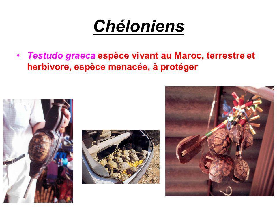 Chéloniens Testudo graeca espèce vivant au Maroc, terrestre et herbivore, espèce menacée, à protéger
