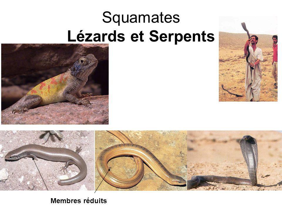 Squamates Lézards et Serpents Membres réduits