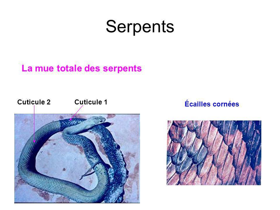 Serpents La mue totale des serpents Cuticule 1Cuticule 2 Écailles cornées