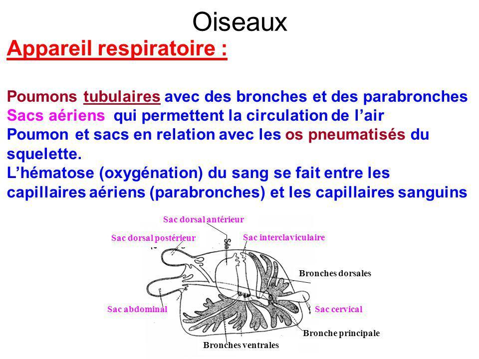 Oiseaux Appareil respiratoire : Poumons tubulaires avec des bronches et des parabronches Sacs aériens qui permettent la circulation de lair Poumon et sacs en relation avec les os pneumatisés du squelette.