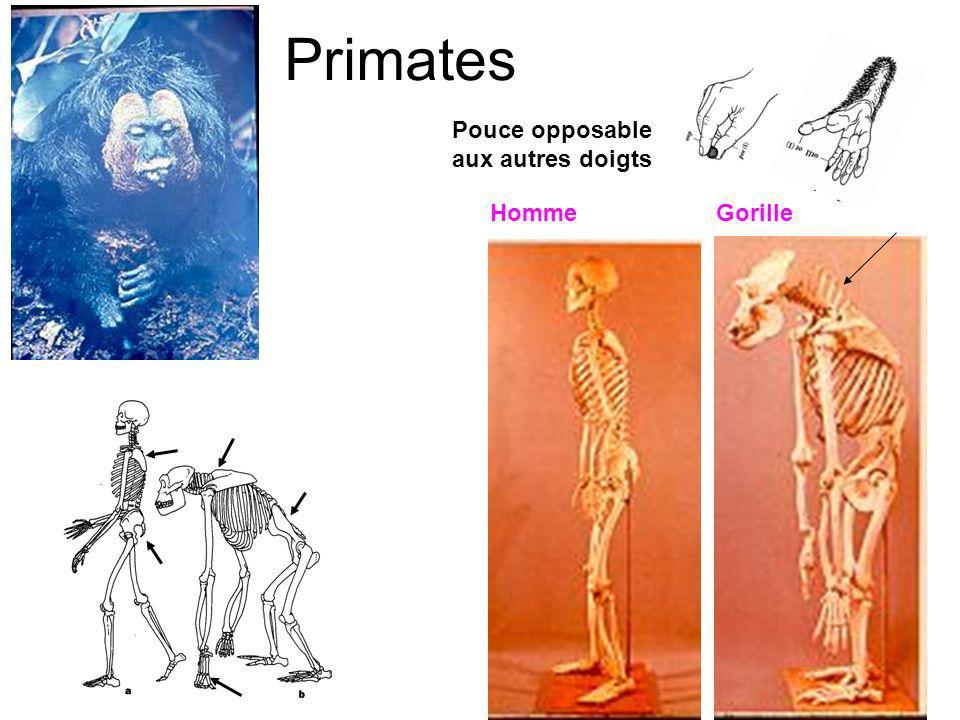 Primates Homme Pouce opposable aux autres doigts Gorille