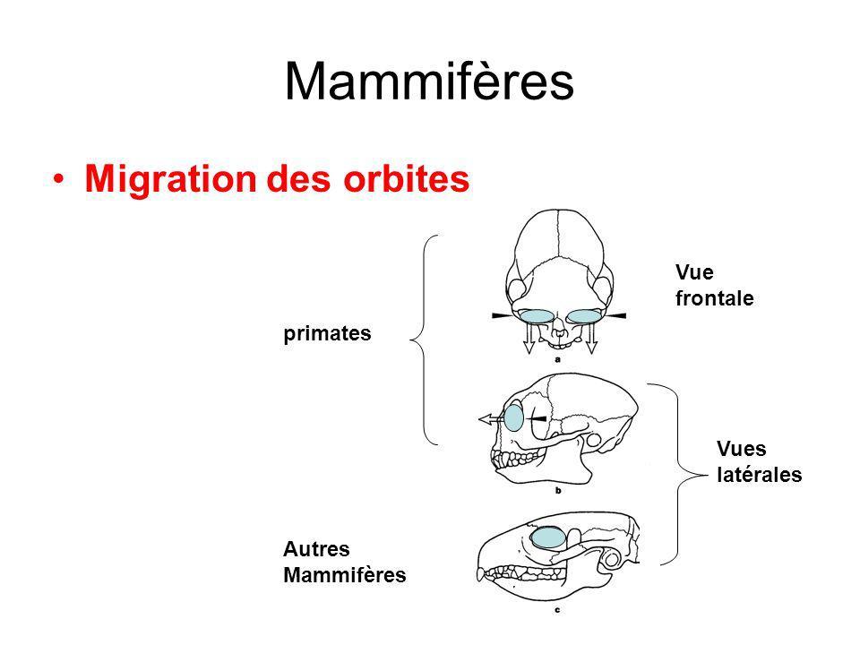 Mammifères Migration des orbites Vues latérales Vue frontale primates Autres Mammifères