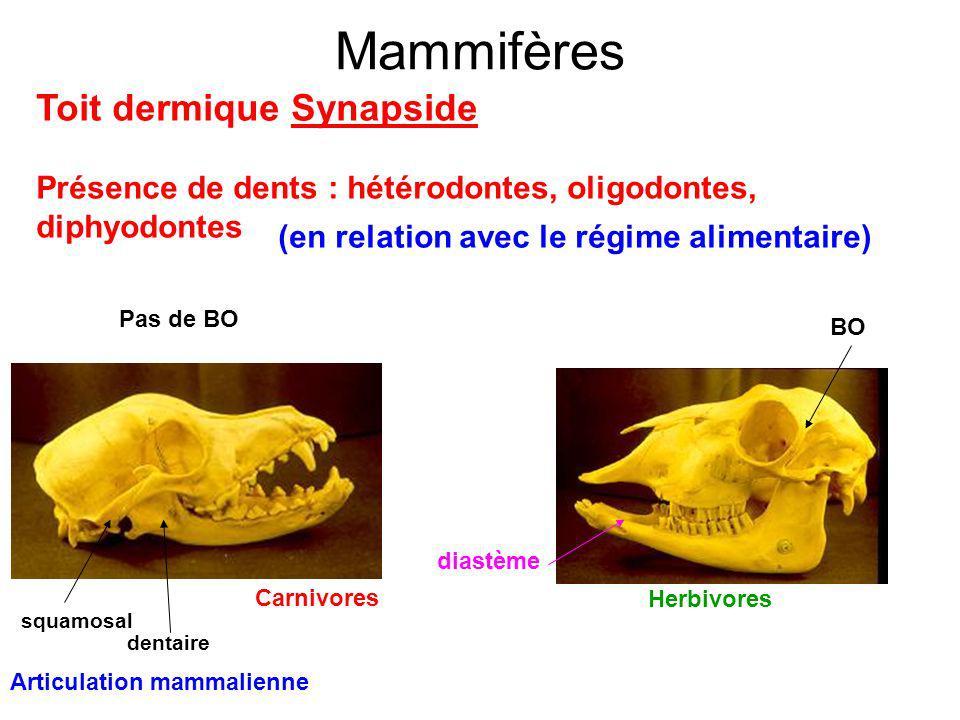 Mammifères Toit dermique Synapside Présence de dents : hétérodontes, oligodontes, diphyodontes (en relation avec le régime alimentaire) Carnivores Herbivores BO diastème Pas de BO Articulation mammalienne squamosal dentaire