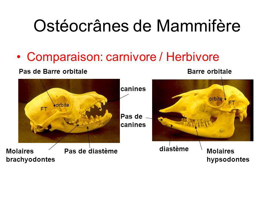 Comparaison: carnivore / Herbivore orbite FT Ostéocrânes de Mammifère Barre orbitalePas de Barre orbitale diastème Pas de diastème canines Pas de canines Molaires brachyodontes Molaires hypsodontes