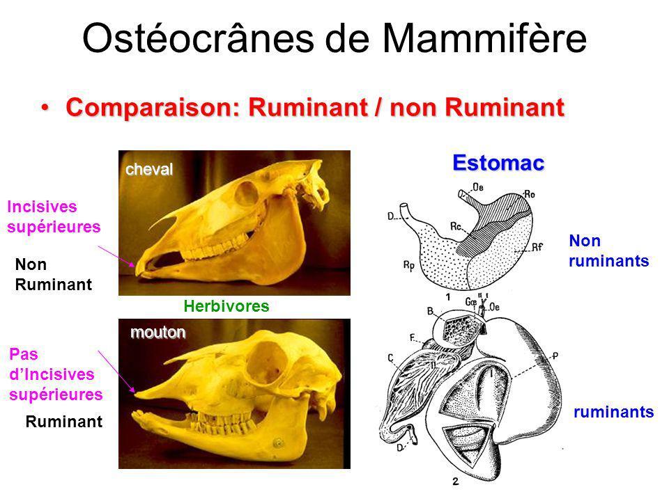 Comparaison: Ruminant / non RuminantComparaison: Ruminant / non Ruminant Non Ruminant Incisives supérieures Ostéocrânes de Mammifère Non ruminants rum