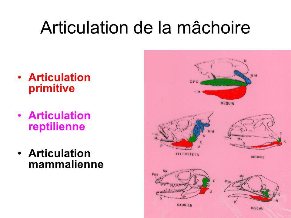 Articulation de la mâchoire Articulation primitive Articulation reptilienne Articulation mammalienne