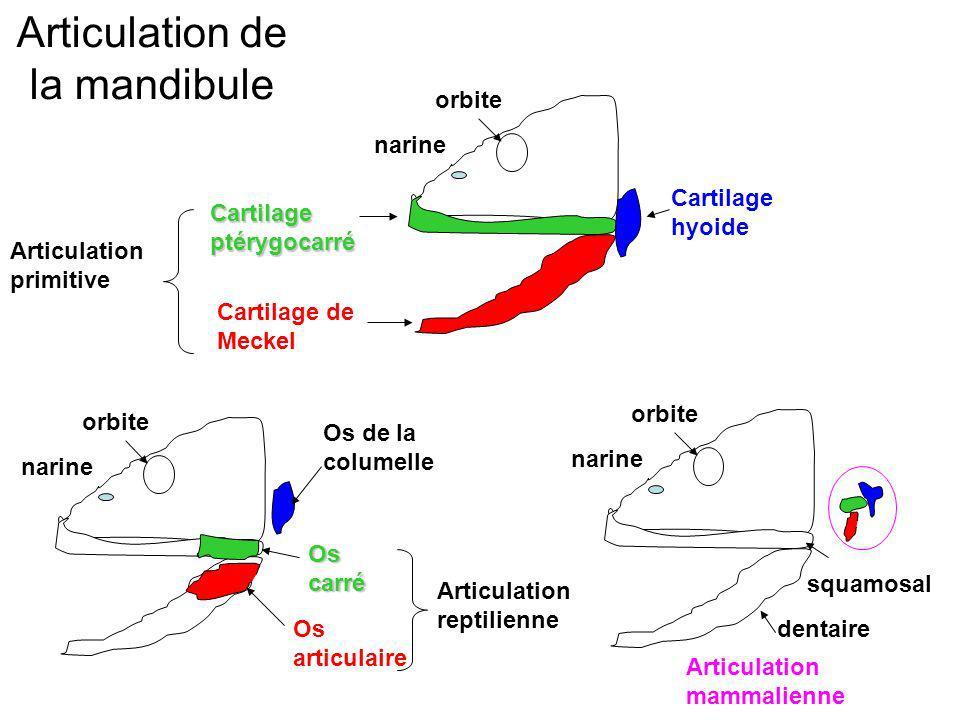 Articulation de la mandibule orbite narine orbite narine orbite narine Cartilage ptérygocarré Cartilage de Meckel Cartilage hyoide Articulation primit