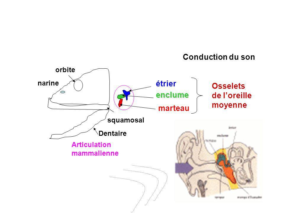 orbite narine Dentaire squamosal Articulation mammalienne étrier enclume marteau Osselets de loreille moyenne Conduction du son