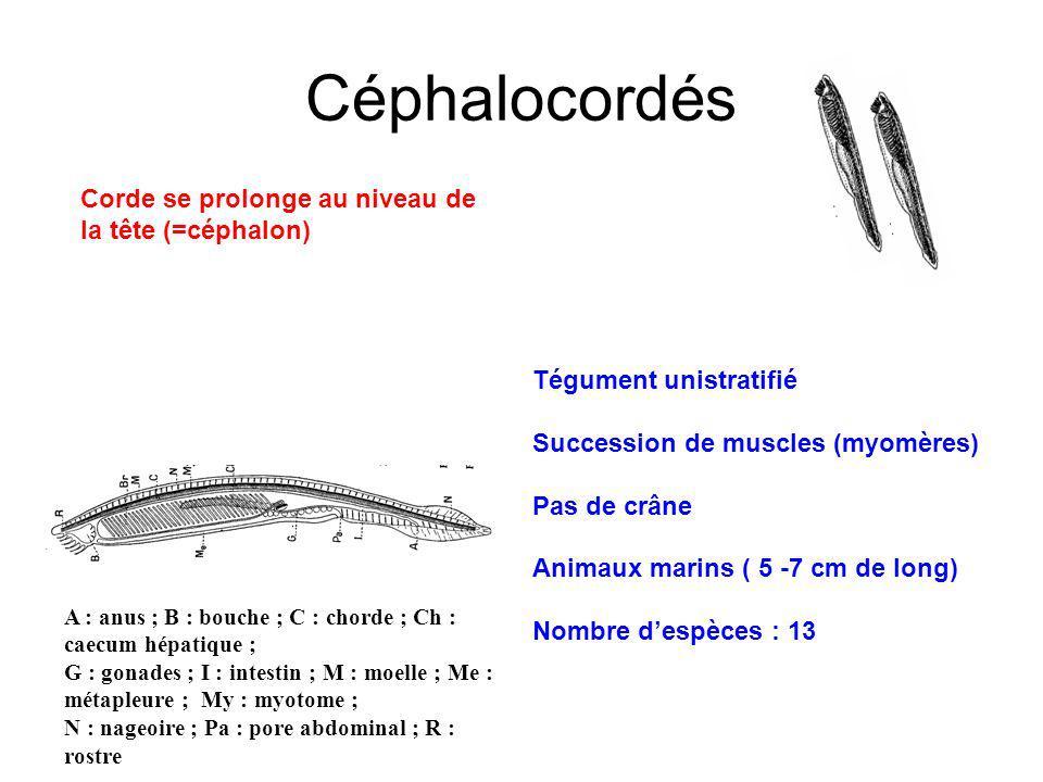 Céphalocordés Corde se prolonge au niveau de la tête (=céphalon) Tégument unistratifié Succession de muscles (myomères) Pas de crâne Animaux marins ( 5 -7 cm de long) Nombre despèces : 13 A : anus ; B : bouche ; C : chorde ; Ch : caecum hépatique ; G : gonades ; I : intestin ; M : moelle ; Me : métapleure ; My : myotome ; N : nageoire ; Pa : pore abdominal ; R : rostre