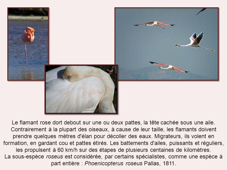 La sous-espèce roseus Chez elle, la plus grande partie du plumage est blanc rosâtre, alors quelle est rose chez la sous-espèce ruber. Pour le reste, l